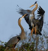 foto of mating animal  - Mating Great Blue Herons located in south Florida - JPG