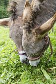 Two Donkeys Eating Grass Outdoor