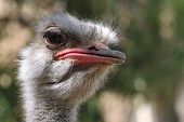 foto of ostrich plumage  - The ostrich is the largest  - JPG