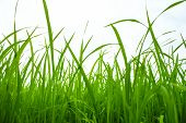 Green Paddy In Field