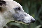Close Up Of Alert Face Of Whippet