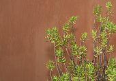 Sedum Reflexum Against Terracotta Color Wall
