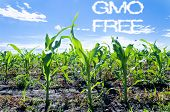 stock photo of maize  - Young corn field landscape with gmo free letters - JPG