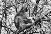 stock photo of bosveld  - Black and White Vector of a Vervet Monkey in a Tree - JPG