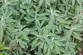 pic of salvia  - plant of common sage salvia officinalis in vegetable garden - JPG
