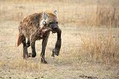 Hyena's Prey