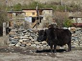 foto of cattle breeding  - Very old bull - JPG