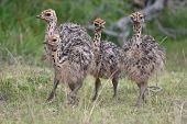 Baby Ostriche Birds