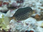 Reticulate Boxfish