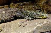 stock photo of giant lizard  - picture of a big yellow lizard resting on a rock - JPG