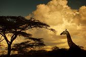 Giraffe in savanna at sunset. Kenya