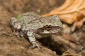 Eastern Gray Tree Frog