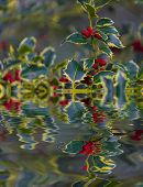 Chrismtas Holly Reflection In The Water