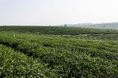 Green Tea Field , Chiangrai In Thailand