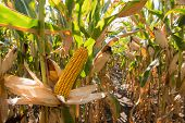 picture of maize  - Green maize field in autumn season - JPG