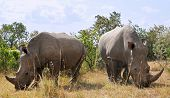 African black rhinoceroses (Diceros bicornis minor) on the Masai Mara National Reserve safari in sou