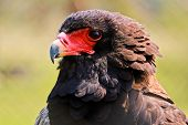 The Bateleur (Terathopius ecaudatus) Eagle