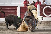 Brave bull of black color and 640 Kg knocks down the horse out of the chopper in a tremendous onslau