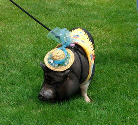pic of pot-bellied  - a pot bellied pig being blessed at church - JPG