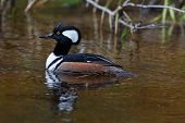 Male Hooded Merganser Duck
