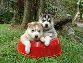 Two Huskies