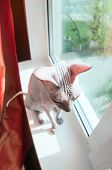 Funny Naked Cat Sitting On Window Sill, Fisheye