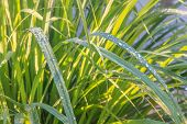 Lemongrass Plant - Herb And Vegetable In Morning