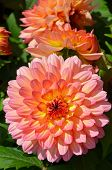 Pink And Yellow Dahlia Flowers