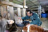 Cheerful farmer feeding cows in barn