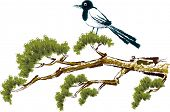 The view of magpie on the pine