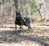 doberman pinscher chasing a wood stick midair in the park