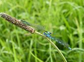Blue Tailed and Common Blue Damselflies