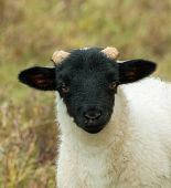 Black-faced Sheep Lamb