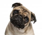 image of pug  - Headshot of a Pug  - JPG