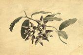 Hoya Imperialis Inflorescence Vintage Postcard Effect