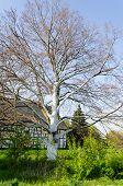Tree With White Bark