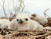 Small Nestling Long Legged Buzzard