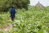 LILIIR, SOUTH SUDAN-JUNE 25: An unidentified man surveys the crop of millet in the village of Liliir
