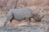 Blurred Rhino running