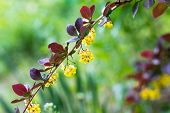 stock photo of barberry  - Branch of barberry bushes - JPG