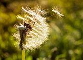 Dandelion Flying Close-up