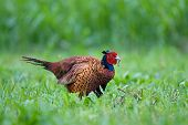 pic of nightcrawler  - Photo of pheasant in a grass eating worm - JPG
