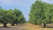 field of ancient olive trees of the Apulian countryside