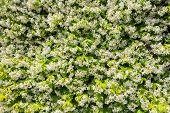 stock photo of jasmine  - Jasmine flowers  - JPG