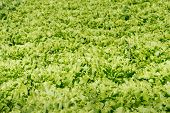 foto of endive  - Small scale organic cultivation of endive in a Dutch vegetable nursery - JPG