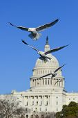 Seagulls with US Capitol background - Washington DC, USA