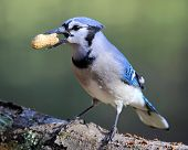 Jay with a Peanut