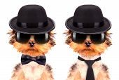 picture of mafia  - Dog dressed as mafia gangster on a white background - JPG
