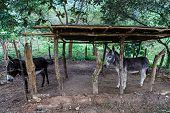 Two Enclosed Donkeys From Nicaraguan Farm
