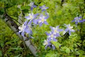 pic of columbine  - softened image of columbine flowers growing in a wooded area - JPG